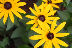 DSC_0128 (weelibrarian) Tags: flowers flower blackeyedsusan