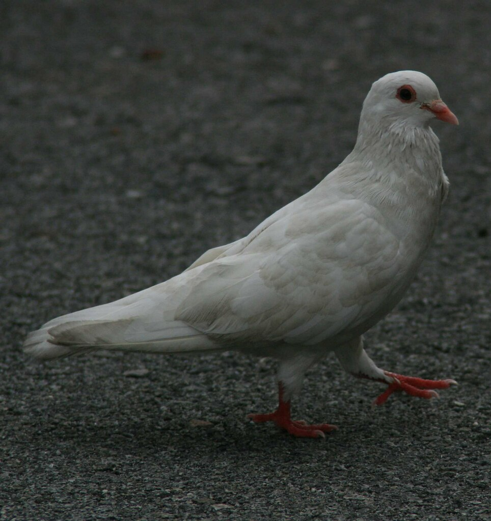 White pigeon searching for food