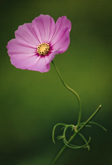 Cosmos. Not perfectly straight (for Sheree) (alan shapiro photography) Tags: nyc pink flower green canon blossom bloom 2009 cosmos alanshapiro flowerwatcher natureselegantshots wonderfulworldofflowers simplythebest~flowers vosplusbellesphotos ashapiro515 canonrebelt1i 2010alanshapiro alanshapirophotography wwwalanwshapiroblogspotcom 2010alanshapirophotography