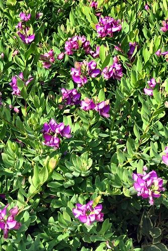 Polygala myrtifolia (rq) - 02