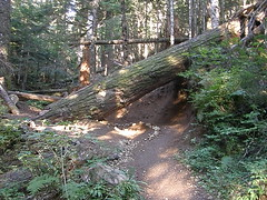 Big tree across trail. Easily go under or around to left.