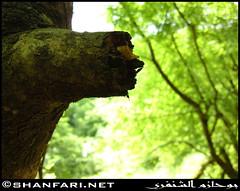 Athoom Spring, Dhofar (Shanfari.net) Tags: flowers plants nature al natural ericsson sony greenery cave oman salalah  sultanate dhofar  khareef  haq  diplopoda     taqah    governate  madeinat  darbat taiq c905  raythut