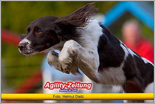 Hunderasse: Kleiner Münsterländer - Agility