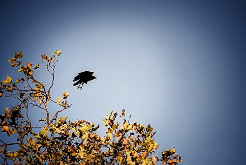 october 31 2009 . crow