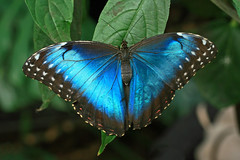 Blue Morpho butterfly. (David Freuthal) Tags: blue black butterfly insect ma massachusetts newengland morphopeleides bluemorpho magicwings bluemorphobutterfly canonefs60mmf28macrousm southdeerfieldma ctflickrmeetup