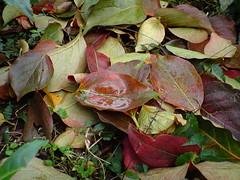 Working to live.. (pohuman) Tags: reflection water colors leaf natural live ericsson sony turkiye gravity su leafs rize yapraklar yaam yansma doal yaprak renkler mywinners k850i yerekimi k850 amlbel pohuman