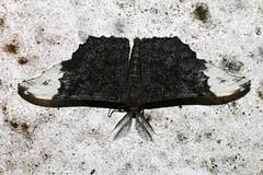 Hyposidra apioleuca (Geometridae: Ennominae: Boarmiini) (Dr. Alexey Yakovlev) Tags: frasershill ennominae boarmiini geometridae moth malaysia