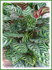 Calathea makoyana (Peacock Plant, Cathedral Windows, Brain Plant) at a garden nursery