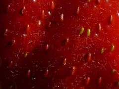 Landing on Mars (safran83) Tags: autumn red macro automne scarlet rouge strawberry provence fraise potager fragaria fz38