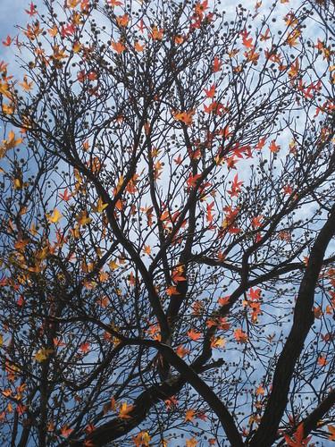 Liquidambar styraciflua - Sweetgum Fall leaves