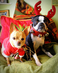 Santahuahua and his Boston Reinterrier (EllenJo) Tags: christmas costumes pets chihuahua silly dogs reindeer bostonterrier ivan antlers disguise floyd digitalimage redandgreen indisguise santadogs ellenjo editedwithpicnik ellenjoroberts december2009 digitalolympus