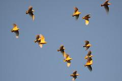 Long-billed Corellas (blachswan) Tags: sunset ballarat birdinflight longbilledcorella cacatuatenuirostris winterswamp mullahwallahwetlands