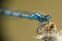 Les yeux bleus... (fabdebaz) Tags: macro photo mai 09 printemps insecte libellule aficionados arige sudouest 2011 k10d pentaxk10d justpentax collectionnerlevivantautrement aigrion vosplusbellesphotos ledomainedesoiseaux