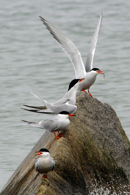 4 terns and minnow