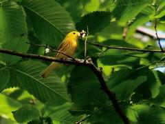 yellow warbler with grub (leafy) Tags: urban bird yellow spring stream pittsburgh restoration frickpark ninemilerun warbler wetland ecosystem nmrwa nativehabitatrestoration ninemilerunorg