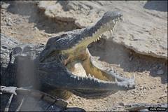 Crocoloco-IZE-117 (Zachi Evenor) Tags: zachievenor israel crocoloco crocolocofarm crocodilefarm crocodiliansfarm crocodile nilecrocodile crocodylusniloticus crocodylus niloticus crocodilia crocodilians haarava riftvalley צחיאבנור ישראל קרוקולוקו חוותקרוקולוקו חוותתנינים חוותתנינאים תניןהיאור תנין היאור תנינים קרוקודיל קרוקודילים תנינאים הערבה 2017 hatzeva 20170221
