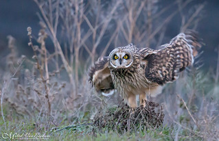 Blurred Vision (Short-Eared Owl)