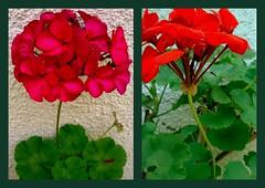 páros (debreczeniemoke) Tags: flower twin even virág pelargonium muskátli páros piroszöld
