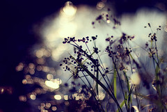 Sunshowers ({peace&love}) Tags: flowers water grass puddle weeds backyard purple bokeh silhouettes pinkparis1233