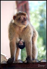 Mamá Mono (Doenjo) Tags: elpeñóndegibraltar doenjo campodegibraltar animales canoneos450d retofs1 retofs2 lmdd instagram