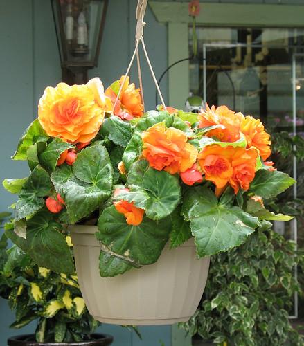 orange begonia in hanging basket