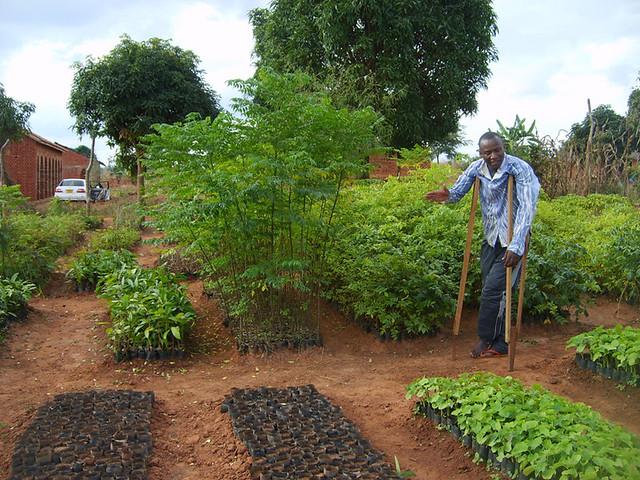 Ntimba trees