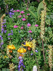 Spirea, lupine, tiger lily, brackted lousewort, lupine
