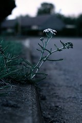 Gutter weed (@Doug88888) Tags: pictures weed image picture images buy gutter purchase doug88888