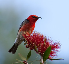 SCARLET HONEYEATER (petefeats) Tags: nature birds australia queensland bottlebrush scarlethoneyeater enoggerareservoir