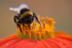 Parc Floral - Vincennes-9 (MissDogo) Tags: paris macro fleur closeup parc insectes vincennes parcfloral bourdon proxyphoto hym hyménoptères hymnoptres