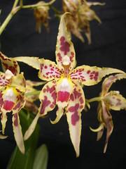 Odontoglossum gloriosum (rarobles....Maxillaria luteo-alba!) Tags: orchids orqudeas odontoglossum orquidaceae