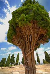 Itálica - Santiponce - Sevilla (Saulo Alvarado) Tags: sevilla árbol santiponce itálica rbol itlica