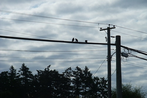 crows on the line