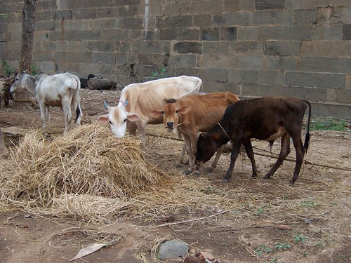 Temple Cows