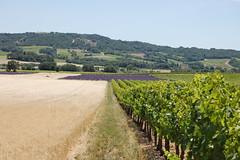 grano lavanda uva (innerGardens) Tags: france countryside europa europe lavender campagna provence francia provenza grano lavanda vigna