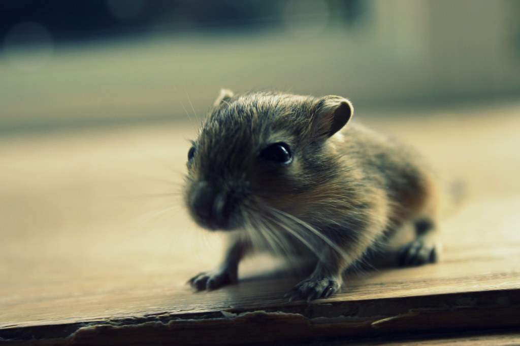 Baby Gerbil by green_gal