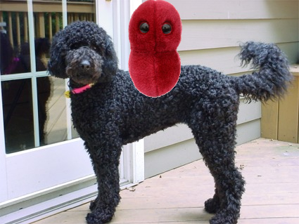 labradoodle and his virus.jpg