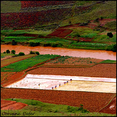 "Madagascar - ""dans les rizires de l'ile rouge"" -  Ricefields (Corinne DEFER - DoubleCo) Tags: travel red nature water river rouge landscapes workers eau republic champs culture rivire fields paysage ricefields madagascar paesaggi paysages riz paisagens rizires landschaften malagasy cuadrado bananier  madagaskar rizire travailleurs  ilerouge grandele madagaskara    carrfranais madagaskaro madagaskaras      corinnedefer corinnesaglier madagasikarademocratic entretananariveambositra"