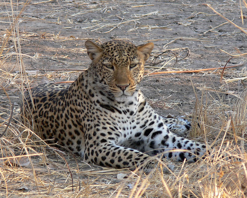 Leopard - South Luangwa - Zambia