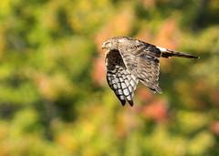 Northern Harrier (Hawk_eye_68) Tags: birdperfect