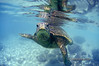 friendly Hawaiian sea turtle at Laniekea, north shore, 2002 (Sean Davey Photography) Tags: blue color green horizontal aqua underwater clarity clean clear dreamy seethrough aquatic transparent lucid crystalclear translucence lucidity seamammal happyturtle seandavey greenandclean friendlyturtle finephotographyart photographersfineart friendlyhawaiianseaturtle friendlyhawaiianseaturtlelaniekeanorthshoreunderwatersealife