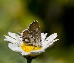 Mini farfalla (paolo-55) Tags: butterfly nikon farfalla d300 105mmvrmicronikkor