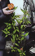 Edosian orchid
