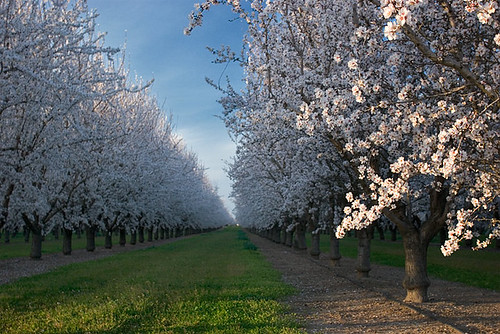 Almond orchards in bloom