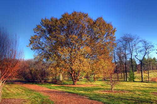 Lacebark Elm at Morton Arboretum