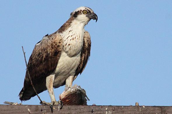 113_osprey