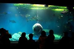 Manatee, Toba Aquarium