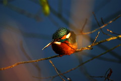 Different Kingfisher, different place, same reserve (Chris McLoughlin) Tags: uk england bird nature closeup day wildlife sony yorkshire kingfisher tamron westyorkshire a300 fairburnings 70mm300mm fairburningsrspbreserve sonya300 tamron70mm300mm sonyalpha300 alpha300 chrismcloughlin