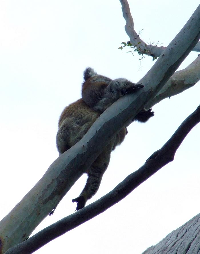 mama koala with baby koala 02