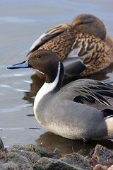 Pintail Pair (Mark_Coates) Tags: water duck pair beak feather ducks fowl waterfowl brace pintail pintails gmc1jun2013 donotuseinblogwithoutexpresspermission